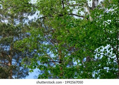 The trees in forest, Krasnoyarsk, Siberia, Russia.