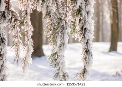 Trees in the forest under the snow, note shallow depth of field