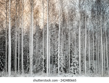 Trees in the forest in the winter. White snow covering the trees.