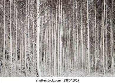 Trees in the forest in the winter.White snow covering the trees.