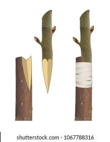 Trees grafting method