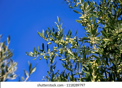 Trees with green leaves and olive fruits against the blue sky