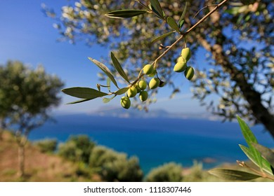 Trees with green leaves and olive fruits on the background of the sea on the coast of Greece
