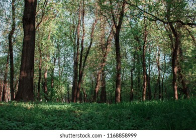 Trees with green leaves in the park.