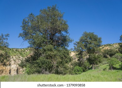Trees grow in the midst of a grass canyon near Santa Clarita California.