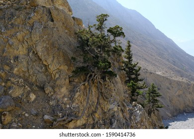 Trees growing in extreme conditions on the rocky wall of the Khali Gandaki Valley. Mustang land in the Himalaya in Nepal, around Lupra. During Annapurna Circuit trekking.