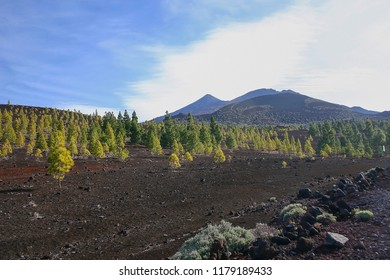 Trees growning on the fertile earth of the Teide in Tenerife
