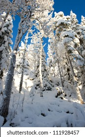 Trees heavy of snow in swedish forest