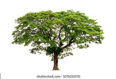 Trees isolated on white background, tropical trees isolated used for design, with clipping path