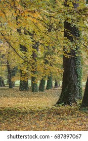 The trees with ivy in the park in the fall and foliage
