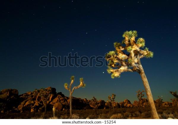 Trees at Joshua Tree National Park, California