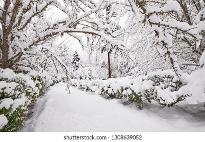 Trees lining a driveway bent over to make a tunnel by the weight of the snow