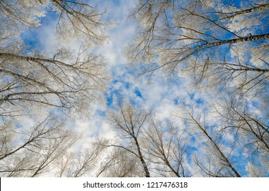 Trees in a magnificent frost on a clear winter day against the background of blue sky. Bottom-up view. Seasons, nature, backgrounds concept.