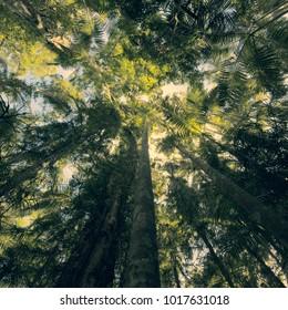 Trees in Mapleton Falls National Park rainforest, Glass House Mountains, Sunshine Coast.
