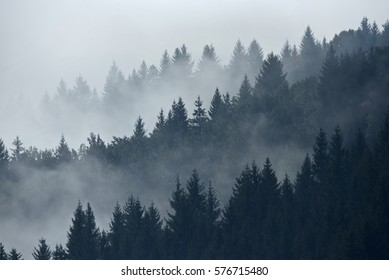 Trees in morning fog on mountain. Spruce trees