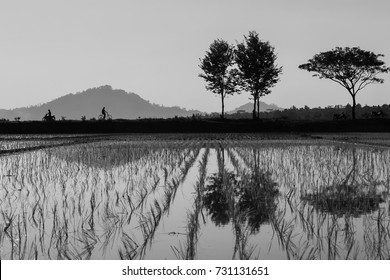Trees and mountain reflected at a rice fields on black and white