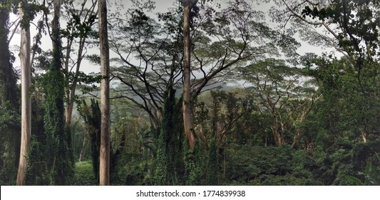 The trees in the mountains of Hawaii