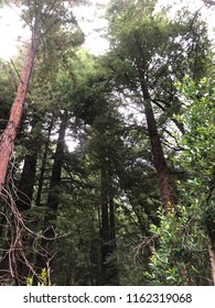 Trees in Muir Woods