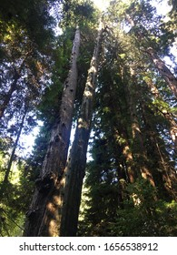 Trees in Muir Woods National Monument in Golden Gate National Recreation Area, California