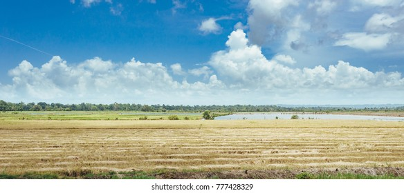 trees on the field of grass and sunset. Idyllic View of Green Rice Field with Palm Trees and Blue Sky