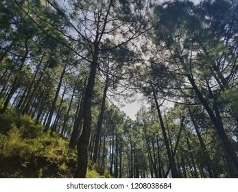 Trees on Mountain in India. This is near Kasauli in Himachal Pradesh in India.