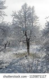 Trees on snow