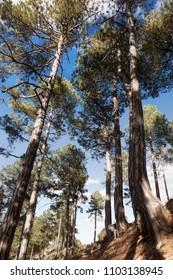 Trees on the way to La Picosa peak. Fuentespalda. Spain