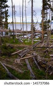trees on Yellowstone lake  National Park