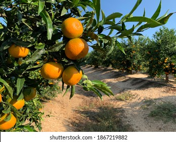 trees with oranges, oronules clementines