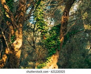 Trees overgrown with ivy. Texture of wild plants in the forest.