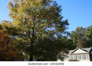 Trees Overlooking Victorian-Style Townhomes against a Late Afternoon Clear Blue October Sky in Burke, Virginia