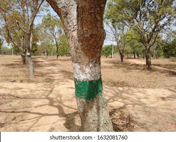 Trees painted in the colors of Nigeria flag at Ahmadu Bello University Gym Reforestation Site , Zaria, Kaduna State