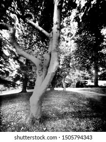 trees in a park during the autumn. This black and white camera obscura photo is NOT sharp due to camera characteristic. Taken on photographic paper, with a professional large format pinhole camera