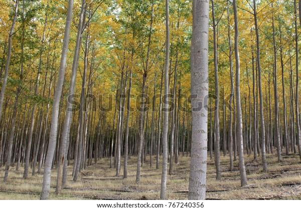 TREES OF PENDLETON, OREGON