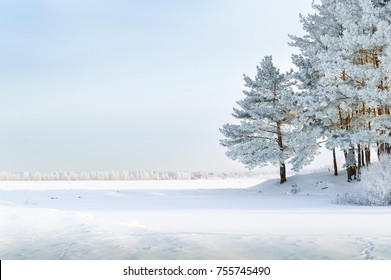 Trees of pine and birch in the middle of a field covered with snow. Winter landscape