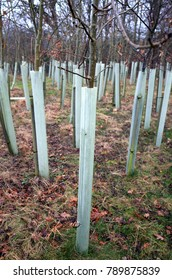 Trees planted with plastic protective collars designed to protect saplings against damage during early years of growth