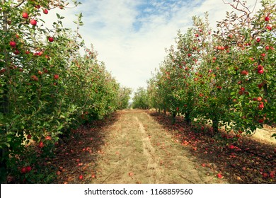 Trees with red apples ready to be picked in orchard