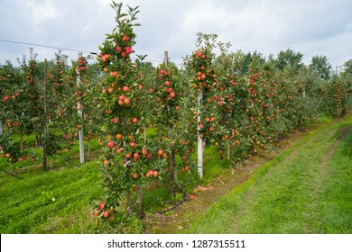 trees with ripe red apples in a dutch orchard