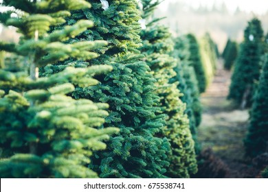 Trees in Rows at a Christmas Tree Farm