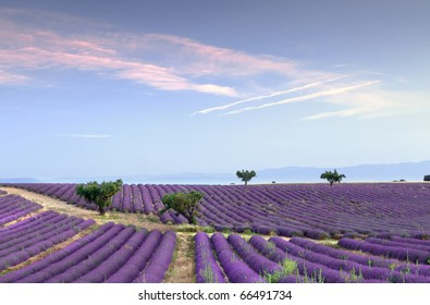 Trees in the rows of scented flowers in the lavender fields of the French Provence near Valensole