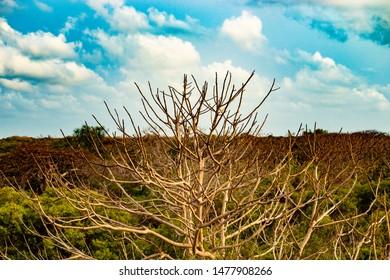 Trees in semi arid zone in Mannar, Sri Lanka