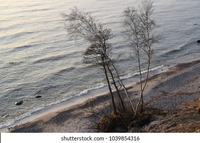 Trees sliding down from slopes to sand beach below.  Ferocious erosion at Olando kepure ( Dutchman's Cap) hill, in Lithuania's Seaside Regional Park, on the Baltic Sea coast.