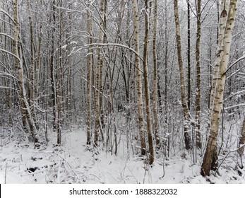 schneebedeckte Bäume im Wald