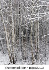 Bäume mit Schneelast im Wald