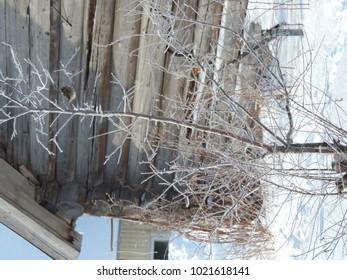 trees in a snowy coat