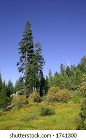 Trees in the southern Sierras