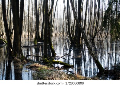 Trees standing in the water swamp in the spring