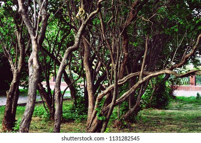 Trees with thin sinuous trunks