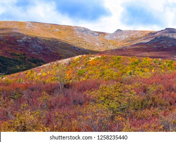Trees and tundra on a steep mountain slope in Denali National Park, Alaska, in vivid late fall colors weeks before winter snow begins
