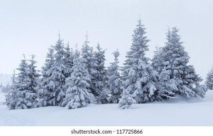 Trees under snow at the winter time.
